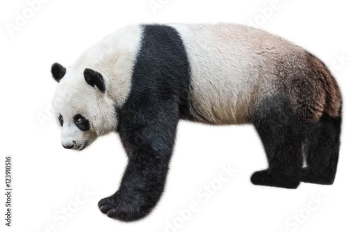 Fotobehang Panda The Giant Panda, Ailuropoda melanoleuca, also known as panda bear, is a bear native to south central China. Panda standing, side view, isolated on white background, often used as an symbol of China.