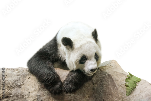 Fotobehang Panda The Giant Panda, Ailuropoda melanoleuca, Also known as panda bear, is a bear native to south central China. Panda resting on a trunk, front view, isolated on white background.