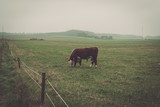 Hereford cow in a misty countryside landscape
