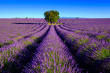 Lavender field at plateau Valensole, Provence, France - 123932549