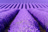 Blooming lavender in a field at Provence - 123932582