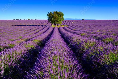 Poster Lavender field at plateau Valensole, Provence, France