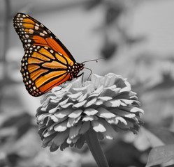 Monarch Butterfly, color spot on black and white