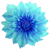 Dahlia flower, white background isolated with clipping path. Closeup. with no shadows. Macro. Nature. blue.