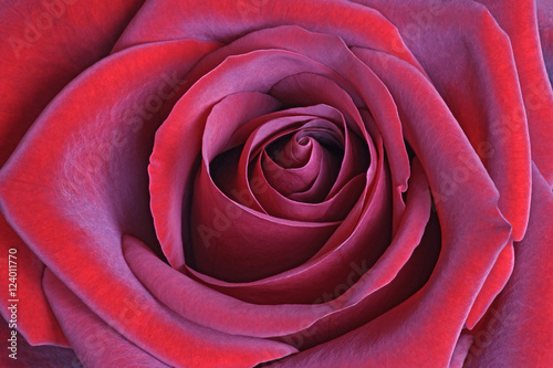 Foto op Canvas Crimson Hybrid rose flower (Rosa x hybrid)