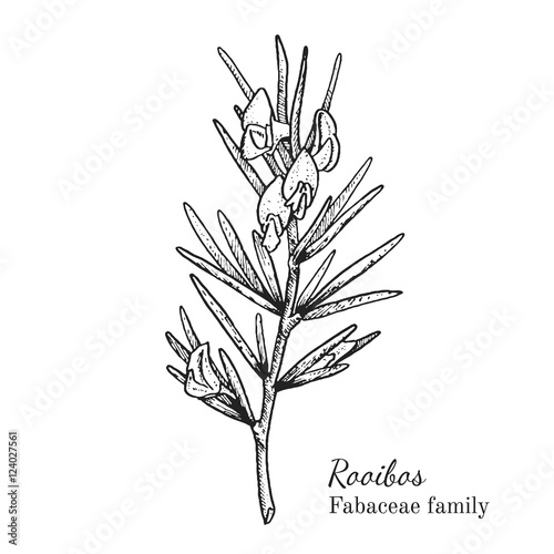 Ink rooibos herbal illustration. Hand drawn botanical sketch style. Absolutely vector. Good for using in packaging - tea, condinent, oil etc - and other applications