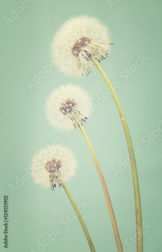 Three dandelions ranging in size on a light teal background