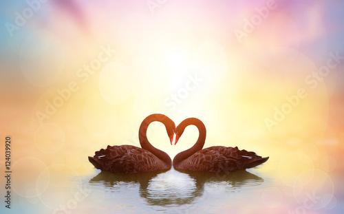 beautiful black swan in heart shape on lake sunset .Love bird concept