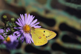 Bright yellow butterfly on a purple aster