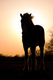 Silhouette of a Belgian Draft Horse against setting sun
