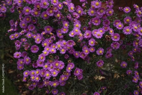 dużo kwiatów - astry w ogrodzie