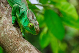 Malagasy giant chameleon or Oustalets's chameleon (Furcifer oustaleti ) is the largest chameleon of the world is endemic to Madagascar.