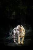 White Tiger on the rock in the zoo