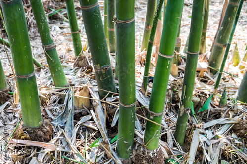 Fotobehang Bamboe Bamboo shoot trunk leaf dry in garden