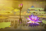 The Lotus in the pool at the park