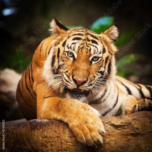 Fotobehang Tijger Tiger, portrait of a bengal tiger Thailand