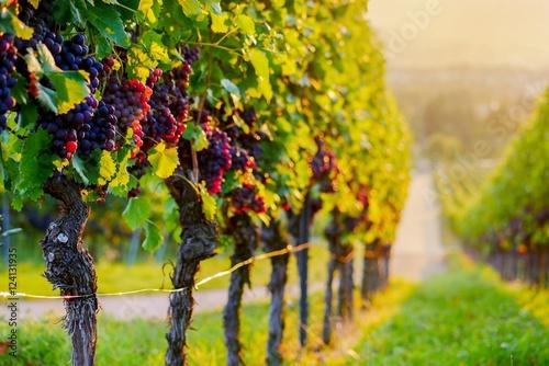 Papiers peints Vignoble Weinberg mit roten Trauben bei Sonnenuntergang
