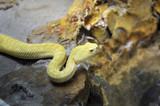 Serpente a sonagli giallo