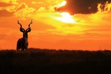 Kudu Bull - African Wildlife - Colors and Magnificent Nature