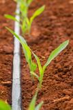 Corn seedlings germination in field