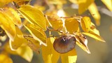 Yellow leaves / Twig with yellow leaves in sunlight