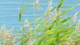 Green reed / Green reed against the blue lake