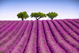 Lavender and trees uphill. Provence, France