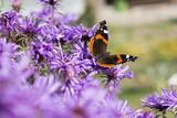 Vanessa Atalanta on a purple daisy flowers.