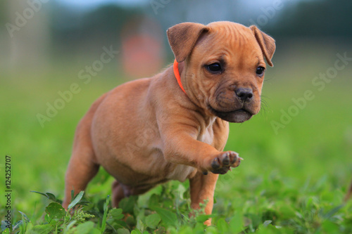 Poszter Puppy staffordshire bull terrier red colour