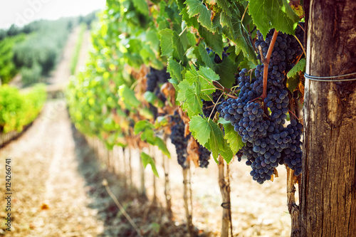 Tuscan vineyard with red grapes. Poster