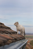 Cat walking over the roof, hunting. Blue sky and horizon in the background.