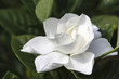 Image of a Perfect Gardenia