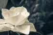 Image of a White Gardenia