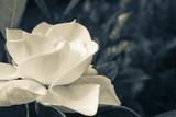 Image of a White Gardenia  - 124297524
