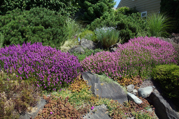 Purple heathers and drought tolerant plants