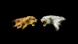 Isolated Lion and White Tiger Roaring - 124315538