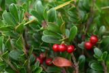 Uva ursina (Arctostaphilos uva-ursi) bacche rosse
