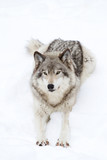Timber wolf stretching on the snow