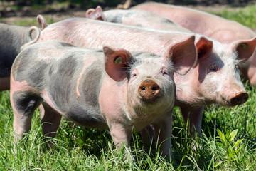 Schweine beim Sonnenbad