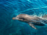 Dolphin in the clear sea water