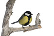 Great tit, Parius major