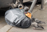 Pigeons feed on the garbage on the streets of Paris