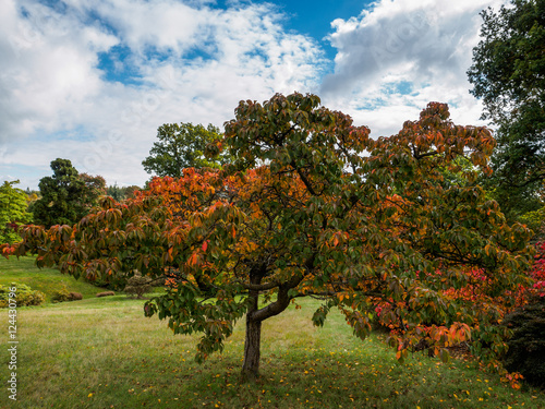 Prunus Pandora Tree in Autumn Poster