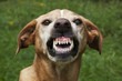 Vicious brown dog. Threatening jaws.