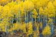 Grove of Aspen Trees in the Fall Season