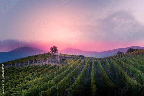Papiers peints Rose clair / pale vineyard at autumn sunset