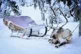 Reindeer in sled