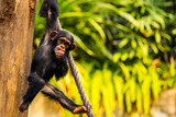 Schimpanse - 124508125