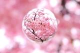 河津桜を閉じ込めて