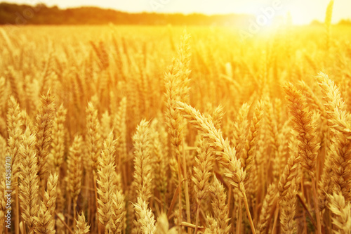 Poster Zwavel geel Wheat field and sun